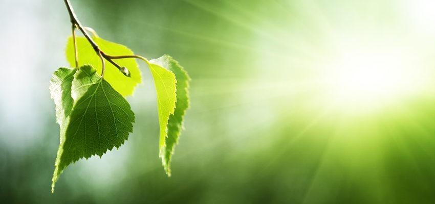 Le bouleau : une plante avec une multitude d'utilisation