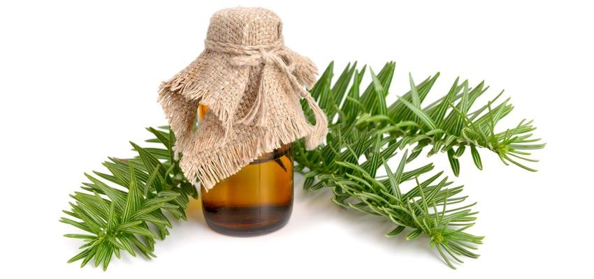 L'huile essentielle d'épinette : ses utilisations et vertus