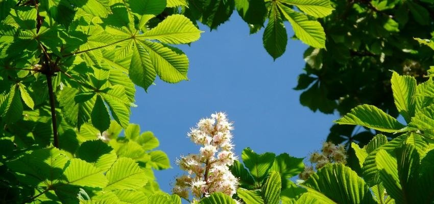 La fleur de Bach marronnier blanc