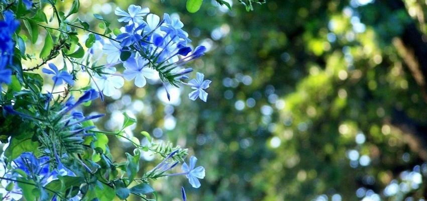 La fleur de Bach Cerato : bienfaits et utilisations