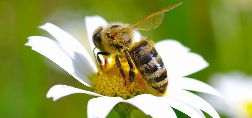 La signification spirituelle de l'abeille