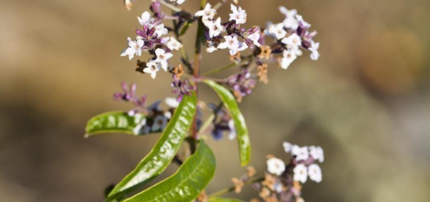 Les bienfaits de l'huile essentielle de verveine odorante