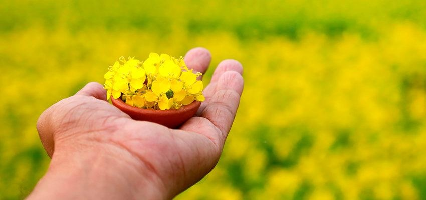 L'herbier médicinale de la moutarde et ses bienfaits