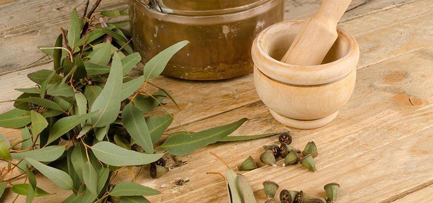 L'herbier médicinale de l'eucalyptus : bienfaits et utilisations