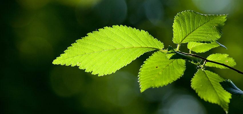 L'herbier médicinale de l'orme et ses bienfaits