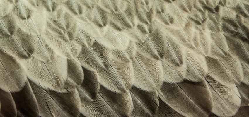 Que symbolise une plume blanche et grise?