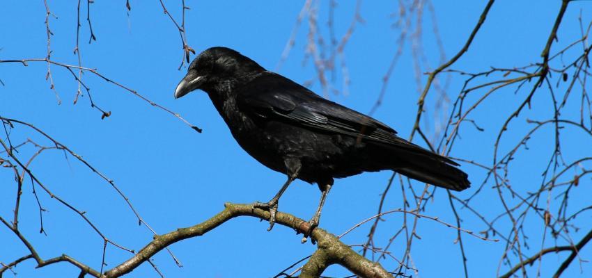L'animal totem du corbeau et son symbolisme