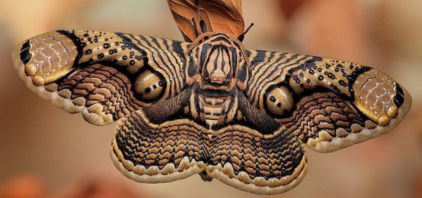La symbolique du papillon de nuit - Duree de vie papillon de nuit ...