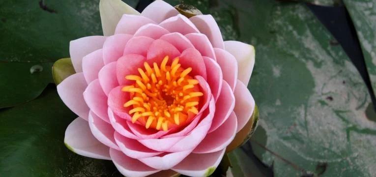 signification de la fleur de lotus. Black Bedroom Furniture Sets. Home Design Ideas