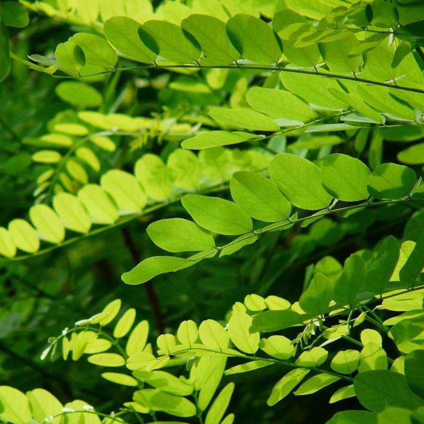 horoscope des arbres acacia