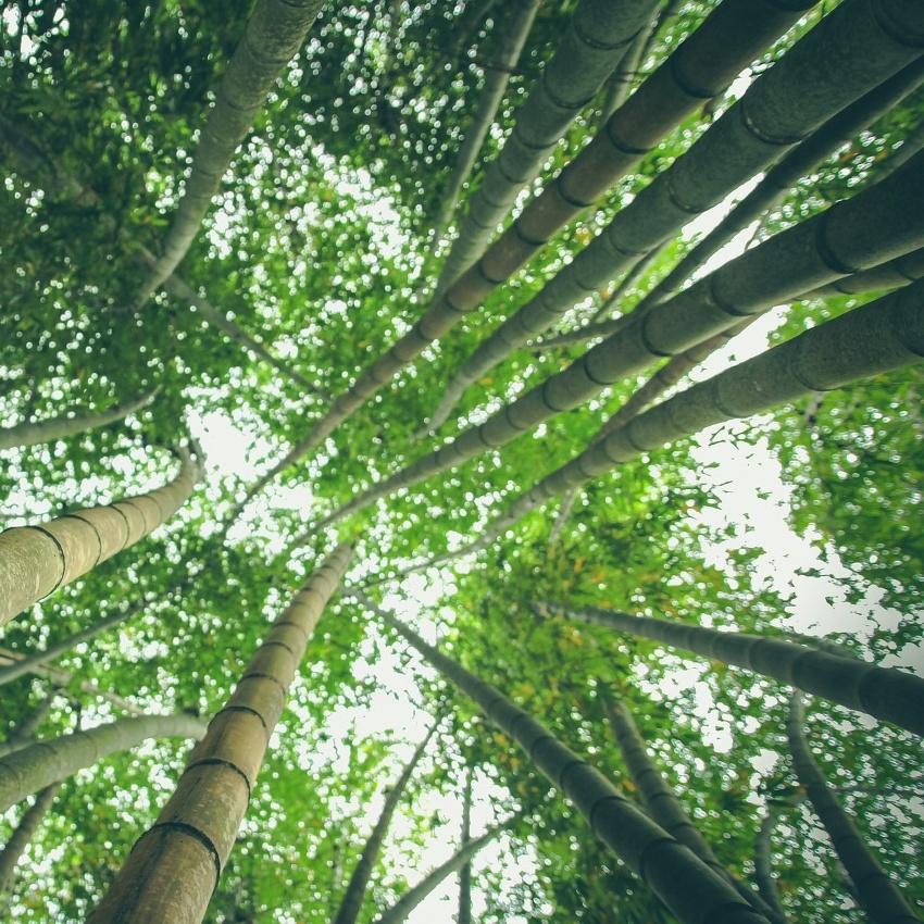 horoscope des arbres bambou