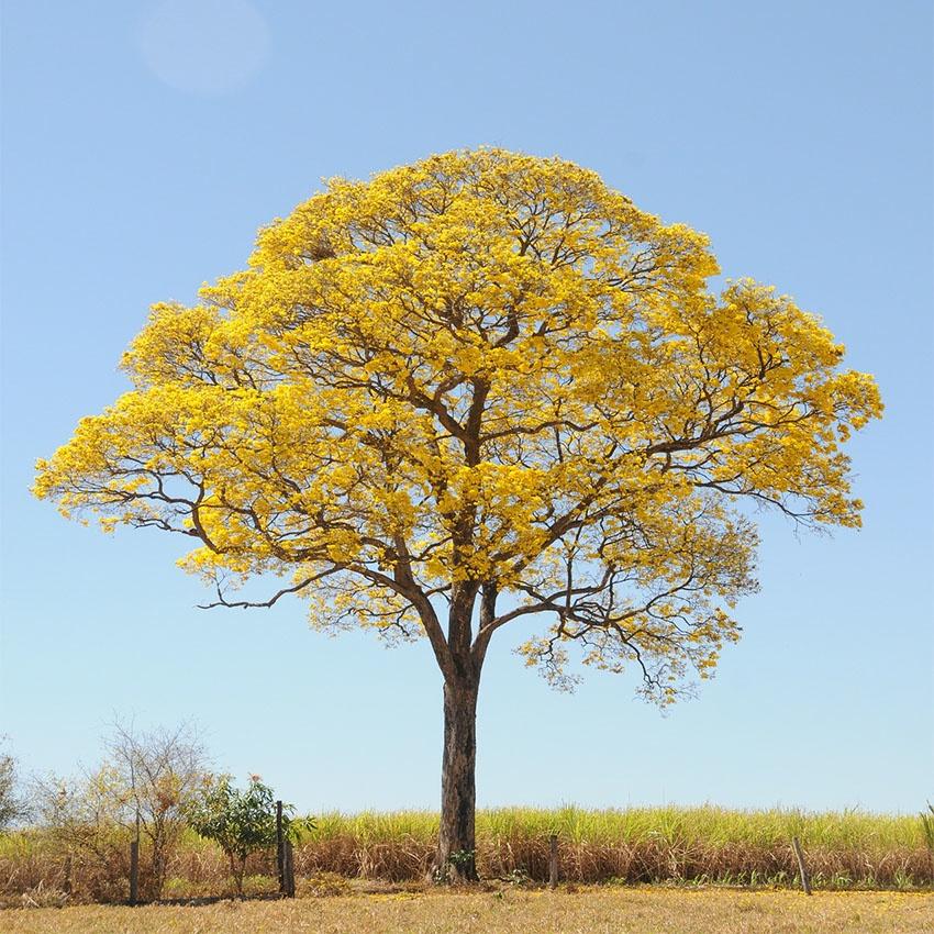 horoscope des arbres Bouleau