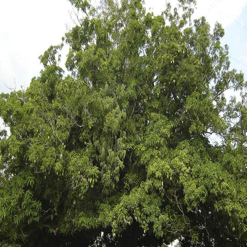 horoscope des arbres châtaignier