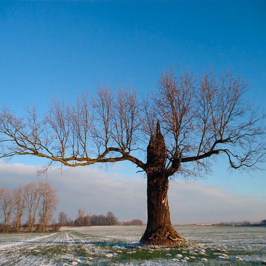 horoscope des arbres chêne