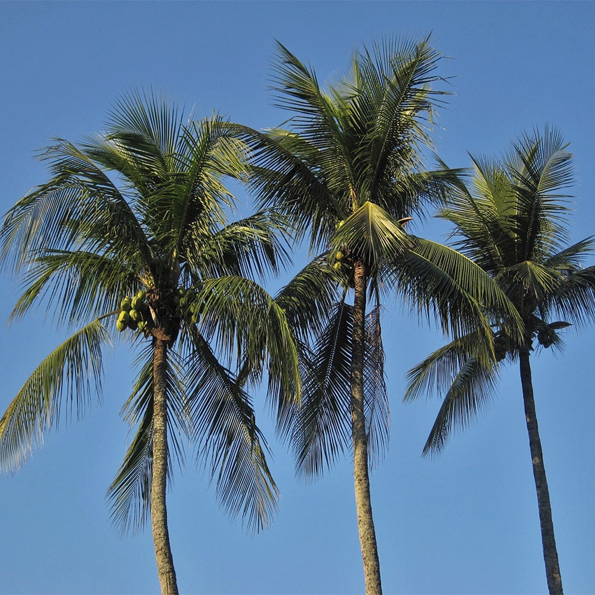 horoscope des arbres cocotier