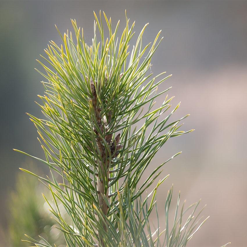 horoscope des arbres Pin
