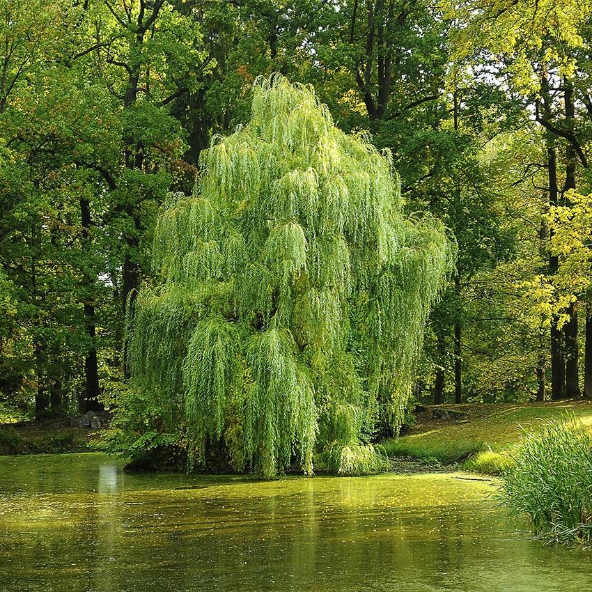 horoscope des arbres saule pleureur