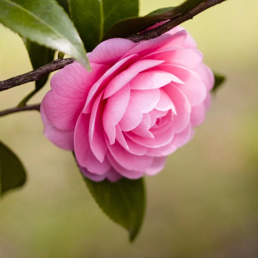 Horoscope des fleurs CANCER