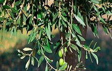 phytothérapie pour la tension artérielle : olivier